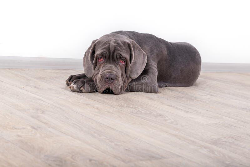 Mastino de Neapolitana de chiot, se reposant sur le plancher dans le studio Maitres-chien de chien formant des chiens depuis l'en photos libres de droits