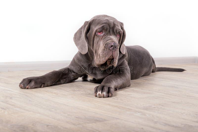 Mastino de Neapolitana do cachorrinho, sentando-se no assoalho no estúdio Alimentadores de cão que treinam cães desde a infância fotos de stock royalty free