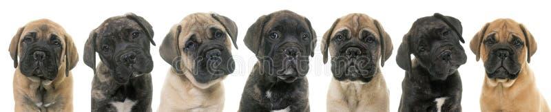 Mastino di toro dei cuccioli fotografia stock