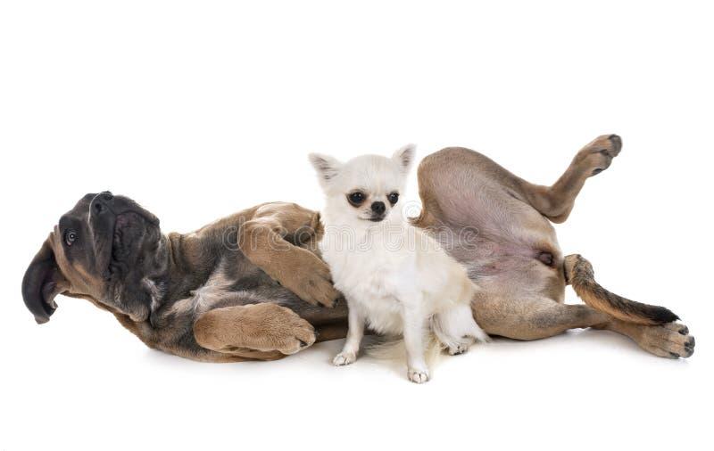 Mastino e chihuahua italiani del cucciolo immagini stock libere da diritti