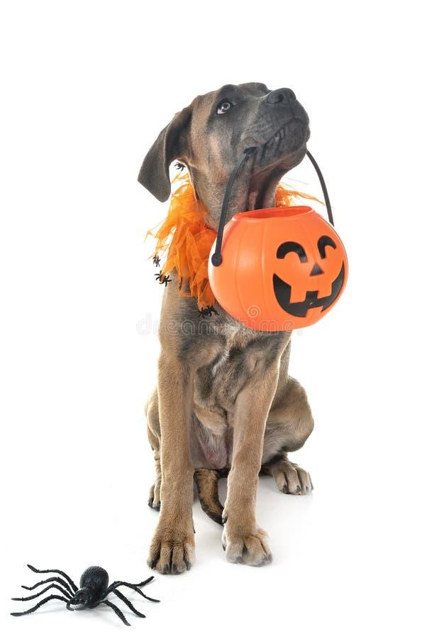 Mastino italiano e Halloween del cucciolo fotografia stock libera da diritti