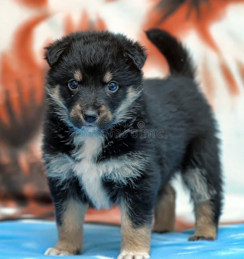 Mastino tibetano del cucciolo fotografie stock