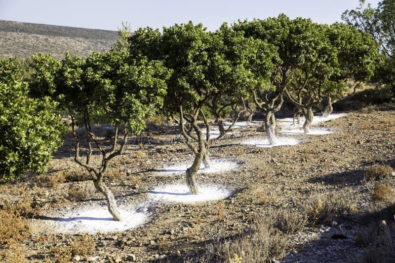 Mastixbaumgarten in Chios-Insel, Griechenland stockfoto