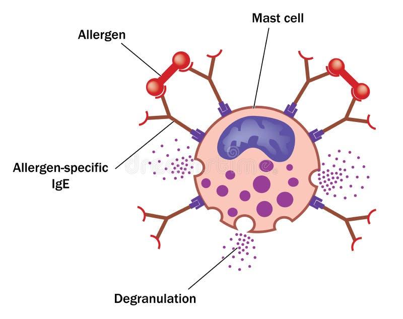 Mastocita ed allergene royalty illustrazione gratis