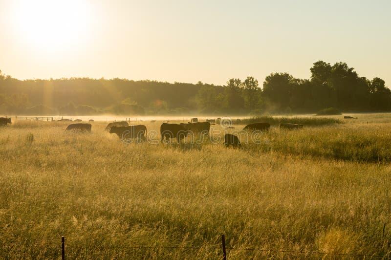 Mastvieh im früher Morgen-Nebel stockbild