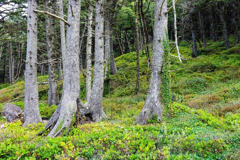 Masywne bele i drzewa na wybrzeżu plaża w Olimpijskim parku narodowym w Waszyngton zdjęcie royalty free