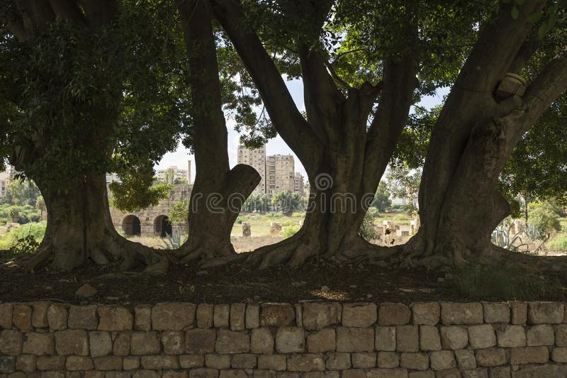 Masywni drzewa przy basem rujnują, z opony miastem w tle, opona, podśmietanie, Liban fotografia royalty free