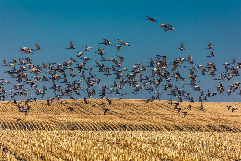 MASZERUJE 7, 2017, STANY ZJEDNOCZONE Emigracyjni Sandhill żurawie latają nad polem uprawnym przy wschodem słońca jako norma - Uro obrazy stock