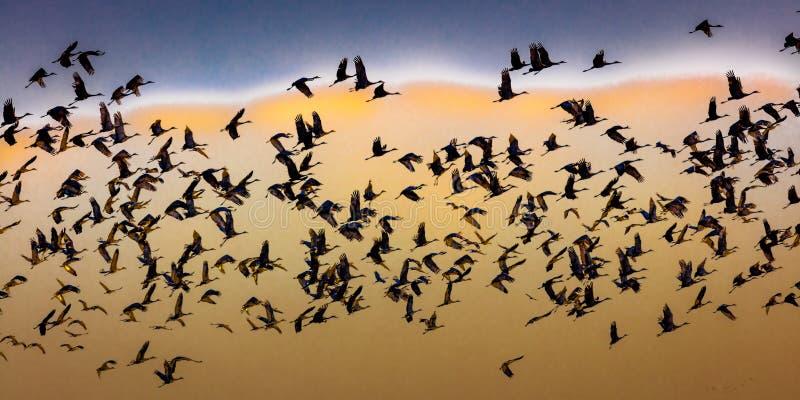 MASZERUJE 7, 2017, STANY ZJEDNOCZONE Emigracyjni Sandhill żurawie są na ich wiosny migraci od T - Uroczysta wyspa Nebraska, PLATT fotografia royalty free