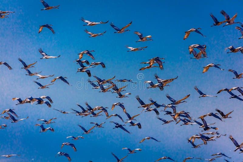 MASZERUJE 7, 2017, STANY ZJEDNOCZONE Emigracyjni Sandhill żurawie są na ich wiosny migraci od T - Uroczysta wyspa Nebraska, PLATT obraz stock