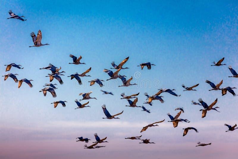 MASZERUJE 7, 2017, STANY ZJEDNOCZONE Emigracyjni Sandhill żurawie są na ich wiosny migraci od T - Uroczysta wyspa Nebraska, PLATT zdjęcie stock