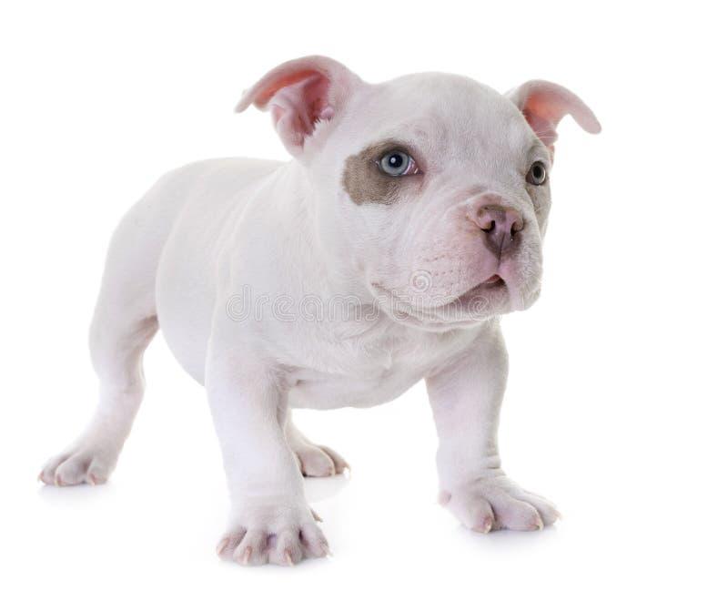 Matón americano del perrito imágenes de archivo libres de regalías