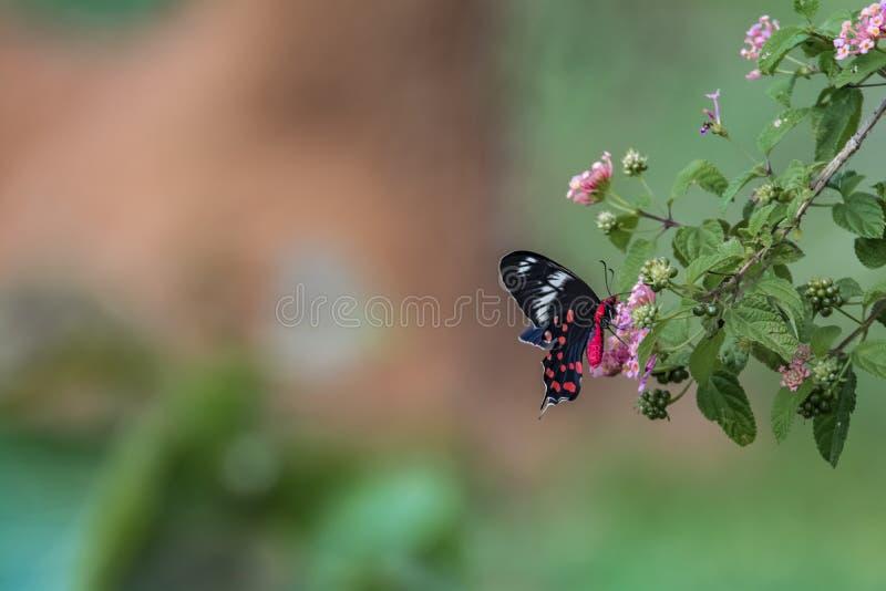 Matón de Pachliopta, la mariposa color de rosa carmesí fotos de archivo