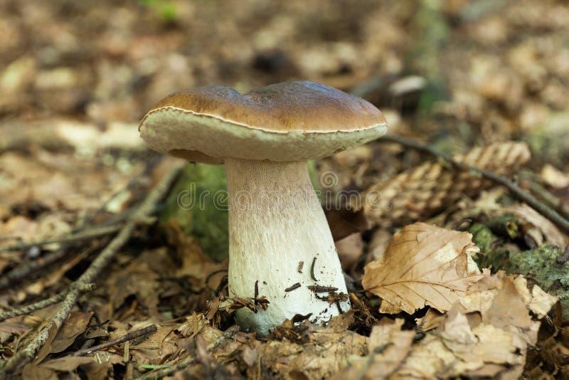 Mat för skog för Porcini august höstbrunt L?s encentmyntbulle, stensopp, porcino royaltyfria bilder