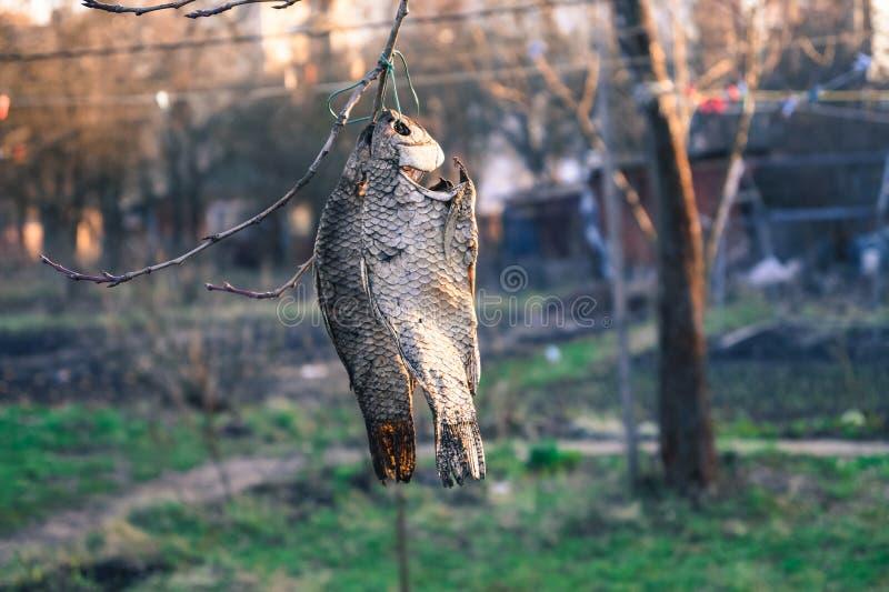 Mat torkade fisken som hänger på en trädfilial royaltyfri fotografi