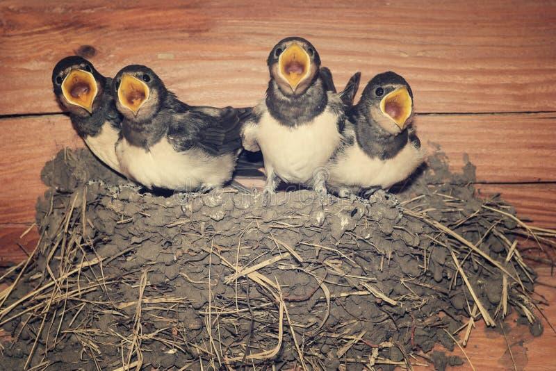 Mata mig! Fordrande svalafågelungar som tigger för mat royaltyfri bild