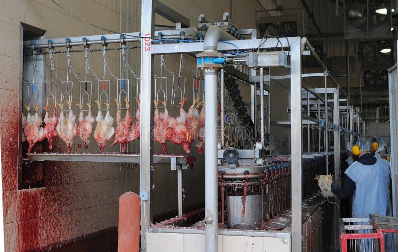 Matadero de las gallinas de la matanza de las gallinas imagenes de archivo