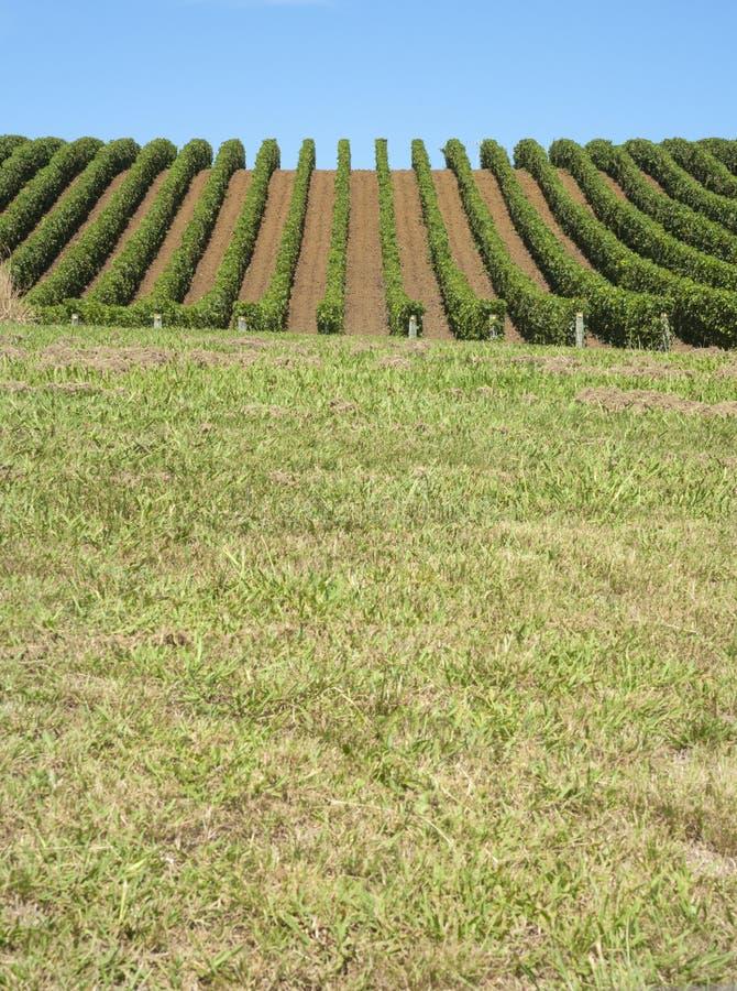 Matakana Vineyards royalty free stock photos