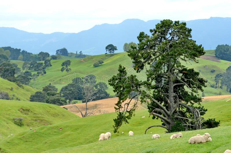 Sheep grazing on a farm field near the rebuilt set for The Hobbit and The Lord of the Rings. Matamata, New Zealand - November 12, 2016: Sheep grazing on a farm royalty free stock photo