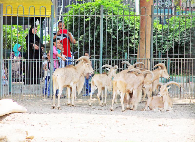 Matande ökengetter för familj på den egyptiska zoo royaltyfri bild