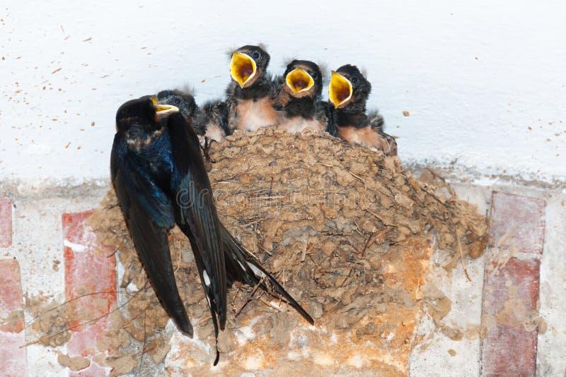 Matande fågelungar för ladugårdsvala i rede royaltyfria foton