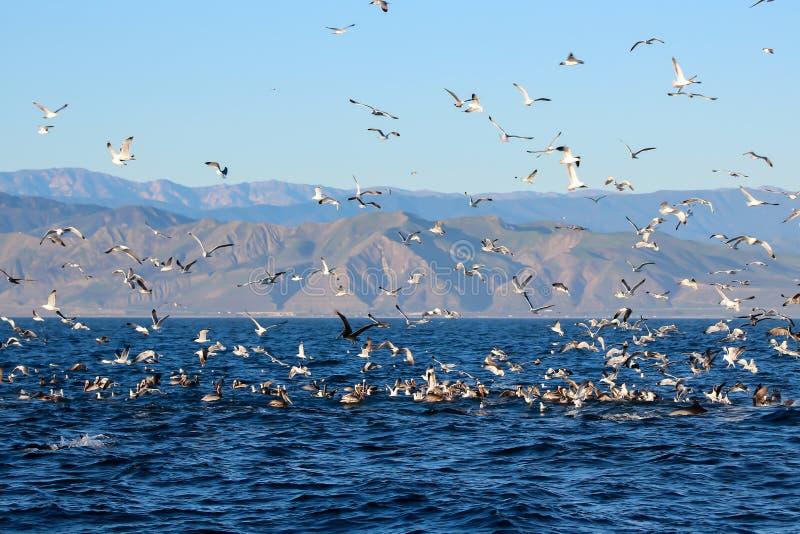 Matande frenesi på havet av den Kalifornien kusten med havsfåglar och gör royaltyfria bilder