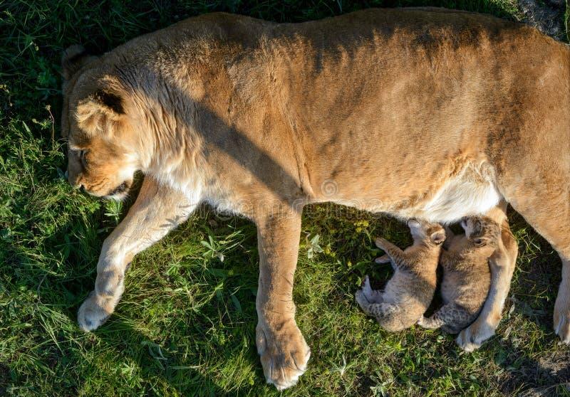 Matande gröngölingar för lejoninna fotografering för bildbyråer