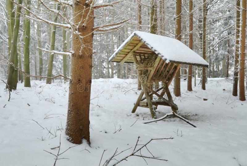 Matande hökugge i vinterskog fotografering för bildbyråer