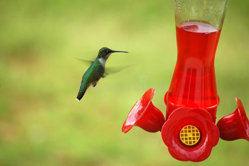 Download Matande hummingbird arkivfoto. Bild av vertebrate, bili - 980994