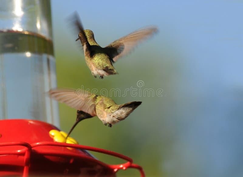 matande hummingbirds royaltyfri bild