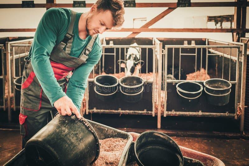 Matande kalv för ung bonde i ladugården i mejerilantgård arkivfoton