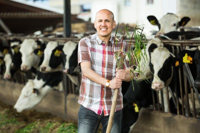 Matande kor för bonde med gräs i lantgård royaltyfri foto