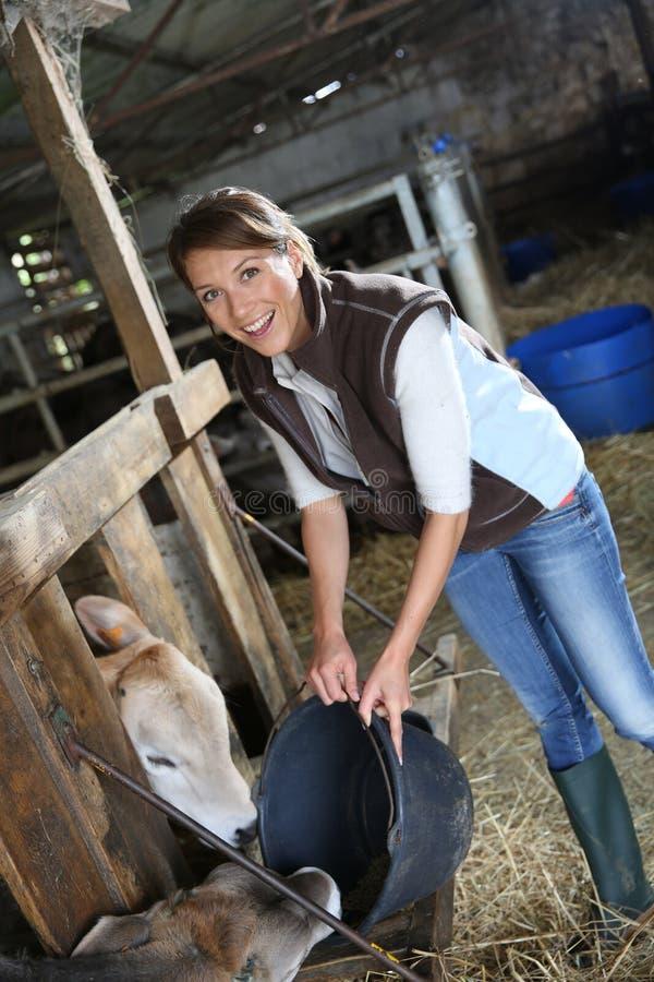 Matande kor för kvinnaavelsdjur royaltyfri foto