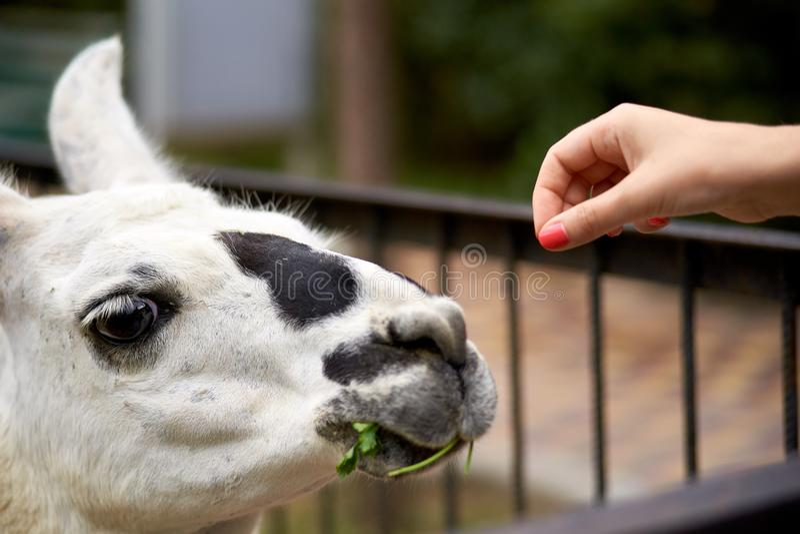Matande lama vid handen arkivfoto
