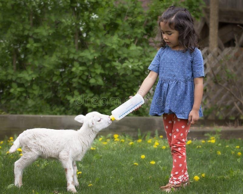 Matande lamm för flicka royaltyfri fotografi
