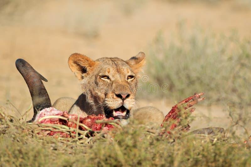 Matande lejoninna fotografering för bildbyråer