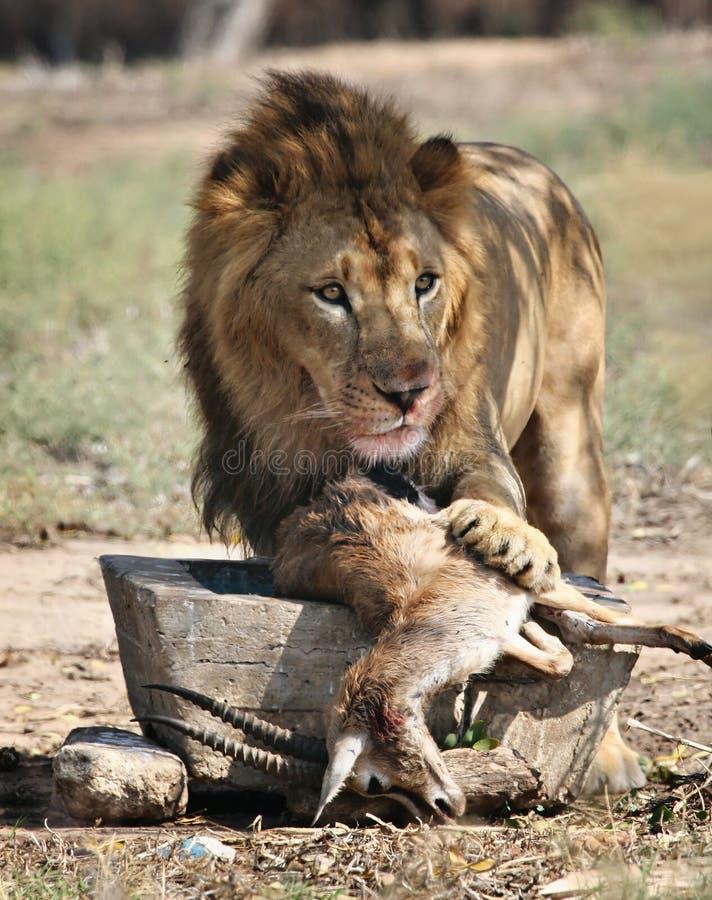 matande lion arkivbild