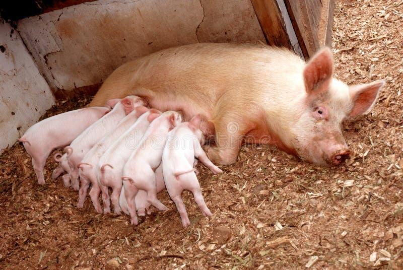 matande piglets sugga fotografering för bildbyråer