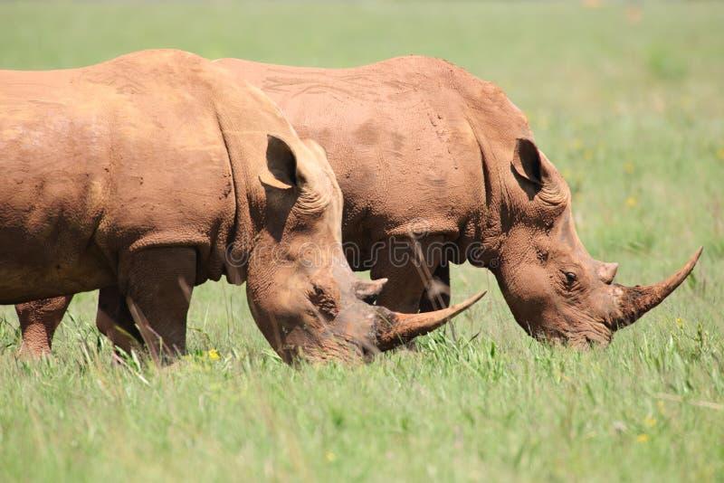 matande rhinos white arkivbild