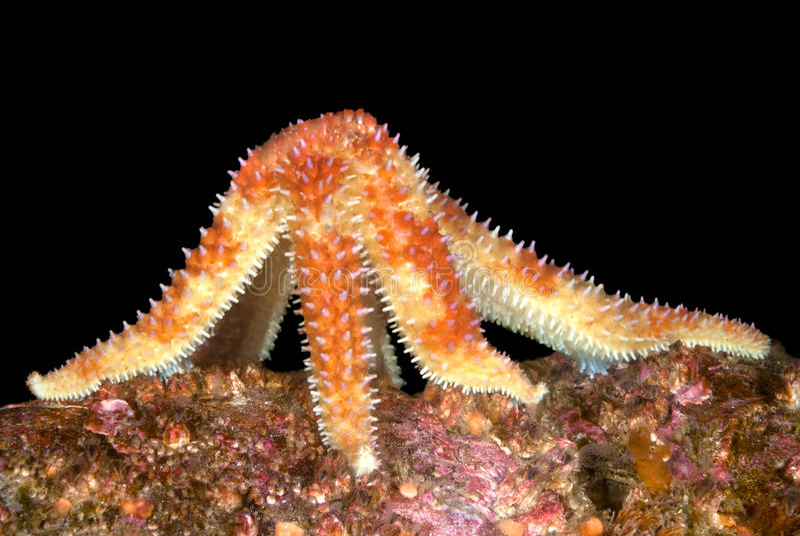 matande sjöstjärna fotografering för bildbyråer