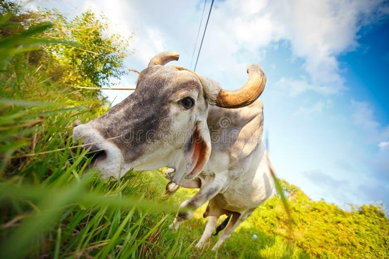 Matande slut för kubansk oxe upp royaltyfria foton
