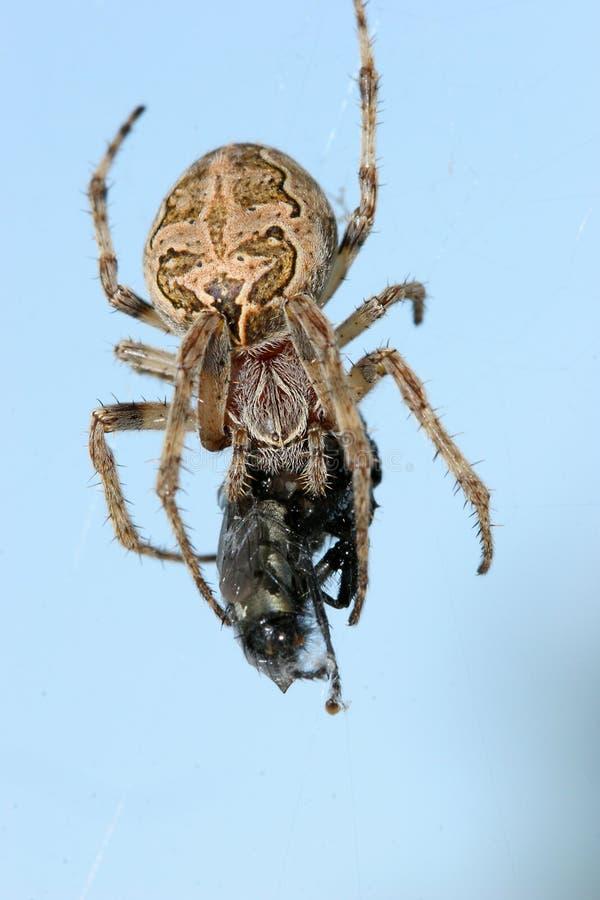 matande spindel royaltyfria foton