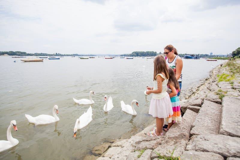 Matande svanar för familj på floden royaltyfri foto