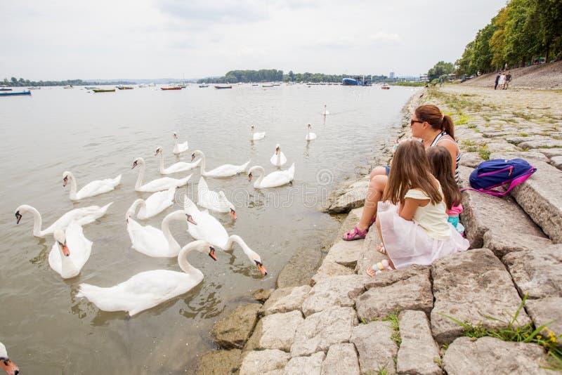 Matande svanar för familj på floden royaltyfria bilder