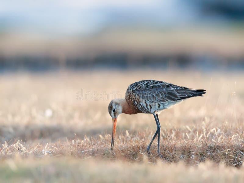 Matande svart-tailed godwit i en gräs- inställning royaltyfria bilder