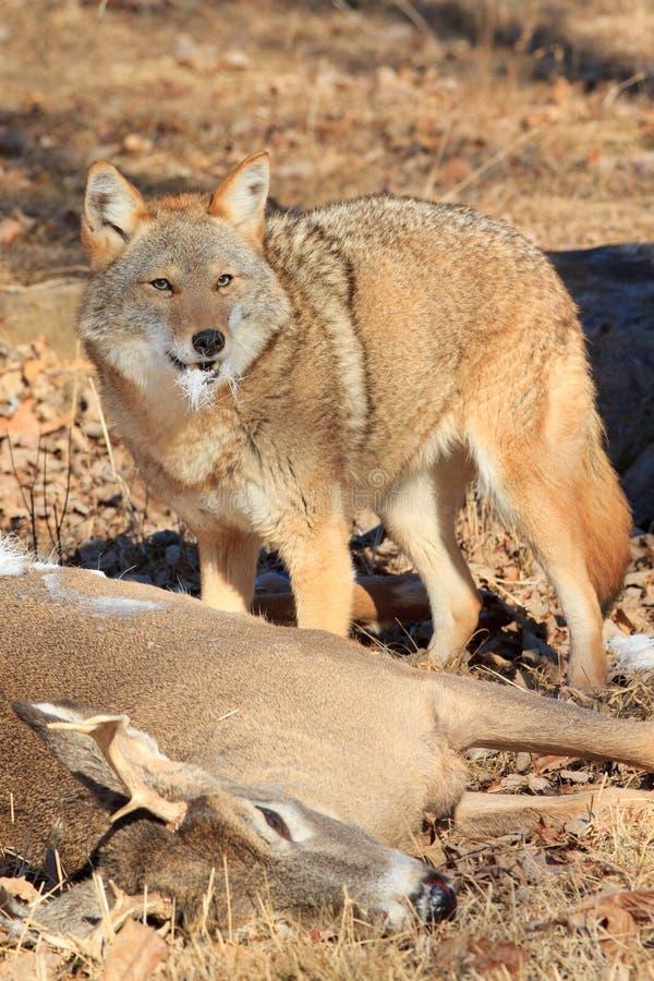 Matanza de reivindicación de los ciervos del coyote imagen de archivo libre de regalías
