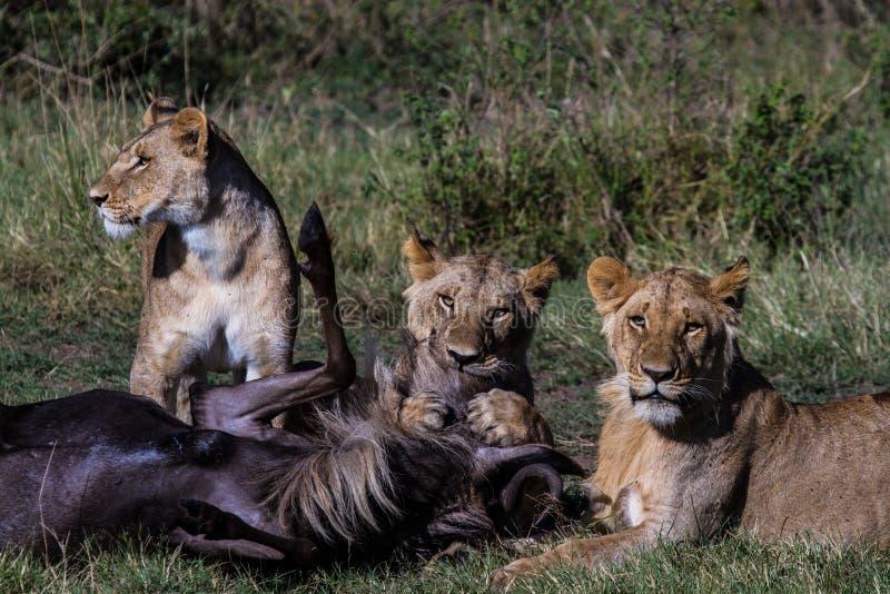 Matanza del león fotos de archivo libres de regalías