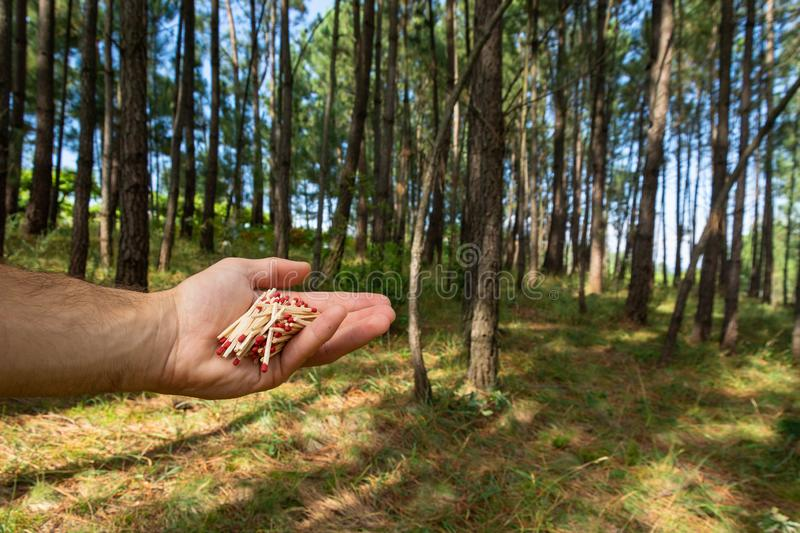 Matches in the hand and pinetree forest royalty free stock image