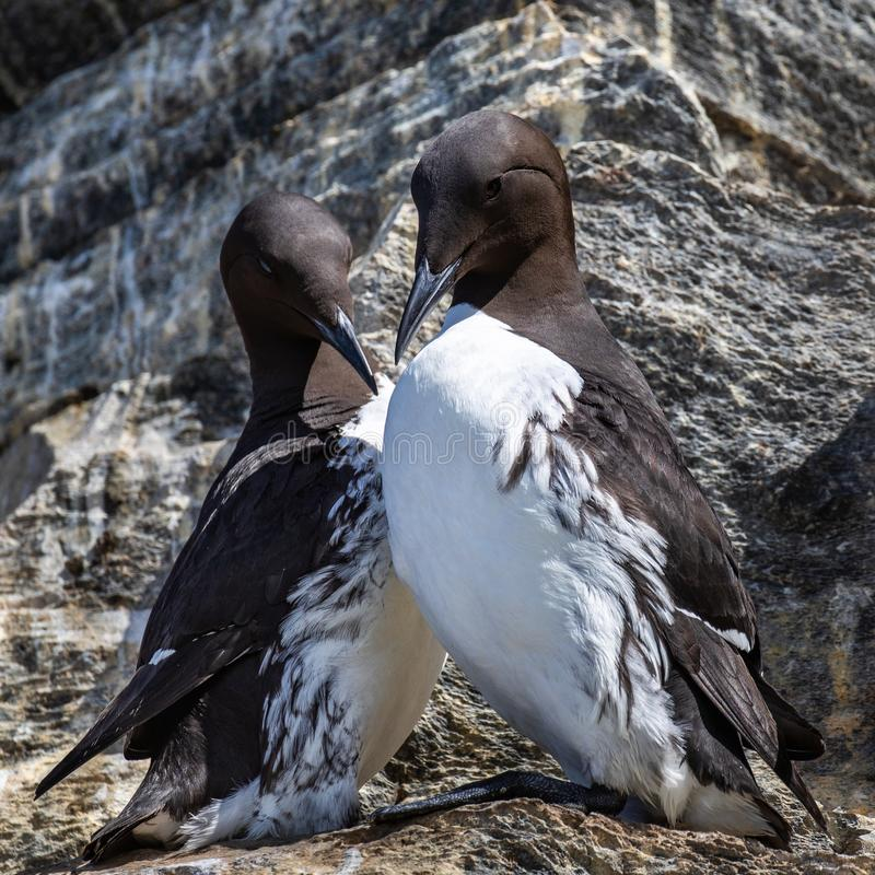 Mated Common Murres. Pair Of Mated Common Mures In Breeding Plumage Standing On Rocky Ledge Near Nesting Site And Exhibiting Mutual Grooming Behavior, Hornoya royalty free stock photos