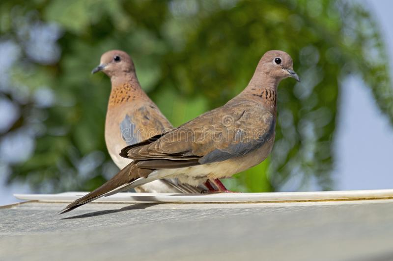 Mated Pair of Laughing Doves Perched on a Shed Roof. A mated pair of laughing doves perched on a shed roof with a blurred tree and blue sky in the background royalty free stock photo